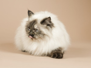 beautiful long haired cat, perser kitten